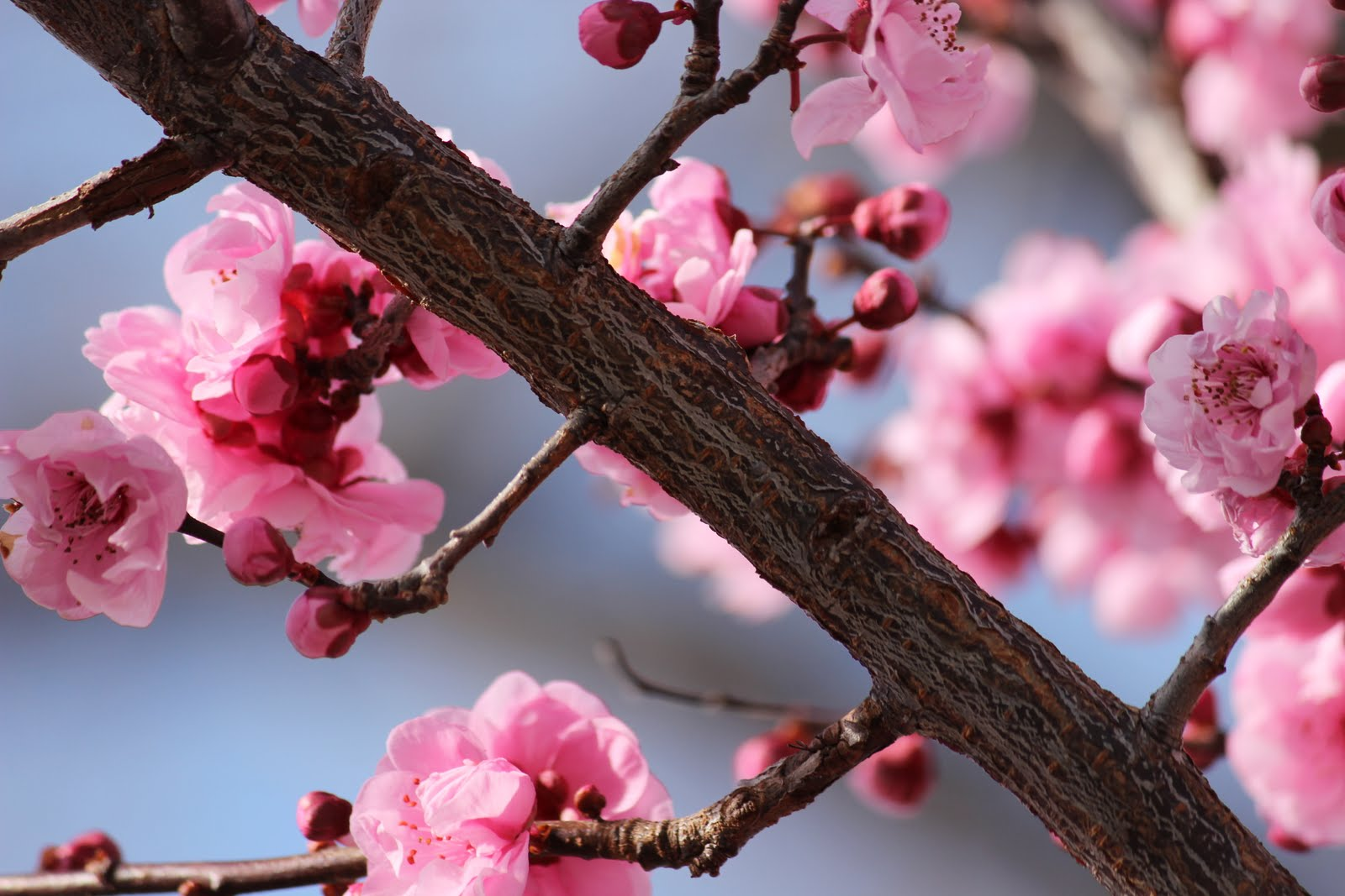 Cherry blossoms in Lucas Valley